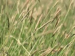 شعير كاليفورني. (الاسم العلمي: Hordeum californicum) صورة توضيحية لشعير الكاليفورني.