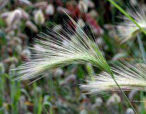 شعير ذو لبدة. (الاسم العلمي: Hordeum jubatum) صور الشعير